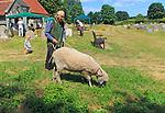 Man with grazing sheep on leash in churchyard, summer village event Blaxhall church, Suffolk, England, UK