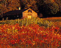 Barn and Sumac, Westmoreland, New Hampshire