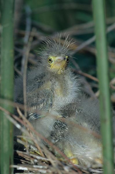 Green Heron, Butorides virescens,young in nest, Welder Wildlife Refuge, Sinton, Texas, USA