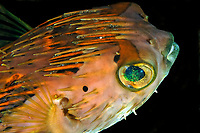 long-spine porcupinefish, freckled porcupinefish, Diodon holocanthus, Dumaguete, Negros Island, Philippines, Pacific Ocean