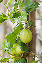 Gooseberry 'Lord Derby' grown as a vertical cordon against a wall, mid June.
