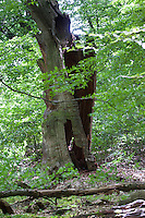 Urwald, Wald, natürlicher Mischwald, Eichenwald, Buchenwald, Totholz, Baumriese, alte Eiche, Quercus, primeval forest, virgin forest, deadwood, dead wood, oak, oaks,