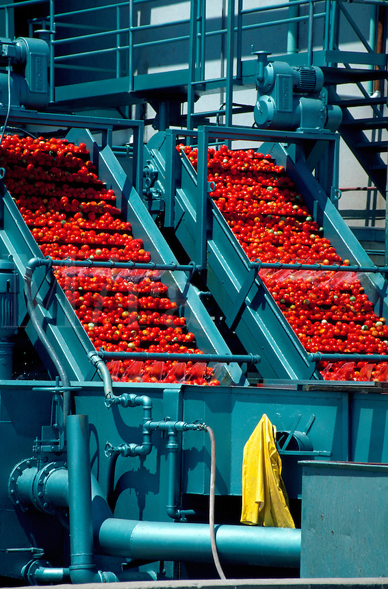 Red tomatoes in processing machinery