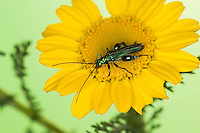 Grüner Scheinbockkäfer, Blaugrüner Schenkelkäfer, Männchen, Oedemera nobilis, False Oil Beetle, Thick-Legged Flower Beetle, Swollen-Thighed Beetle, Pollen-feeding Beetle, Thick-legged Flower Beetle, male, Schenkelkäfer, Scheinbockkäfer, Schein-Bockkäfer, Scheinböcke, false blister beetles, pollen-feeding beetles, Oedemeridae