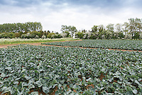 Early protected crop of Calabrese (covers recently removed) - Lincolnshire, May