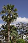 Palm and Jacaranda trees against blue sky. Tenerife,Canary Islands.