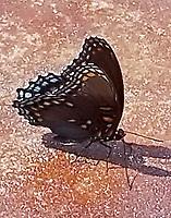 Female diana fritillary
