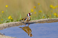 European Goldfinch (Carduelis carduelis), adult, drinking at pool with reflection, Spain, Europe