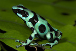 Green and black poison dart or arrow frog, Dendrobates auratus, Guayacan, Provincia de Limon, Costa Rica, Amphibian Research Center, tropical jungle, South America.Central America....