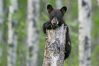 Black Bear cub clinging to the top of a snag