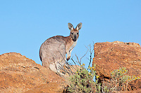 Euro aka Common Wallaroo, near original Alice Springs, NT, Australia