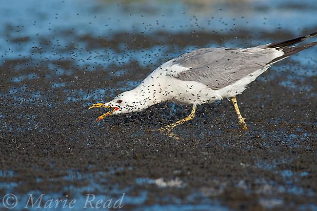 California Gull (Larus californicus), foraging for Alkali Flies (Ephydra hians) by running through swarm snapping its bill, Mono Lake, California, USA.