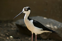 Black-necked stilt, Himantopus mexicanus. Arizona-Sonora Desert Museum, Tucson, Arizona