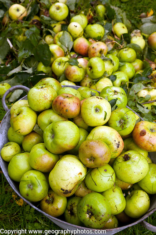 Cooking apples collected in metal tub