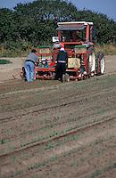 Europe/France/Normandie/Basse-Normandie/50/Manche/Créances: Plantation des poireaux de sable de Créances