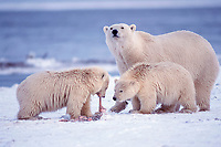 polar bear, Ursus maritimus, mother & cubs feeding, Arctic National Wildlife Refuge, Alaska ( Arctic Ocean ), polar bear, Ursus maritimus