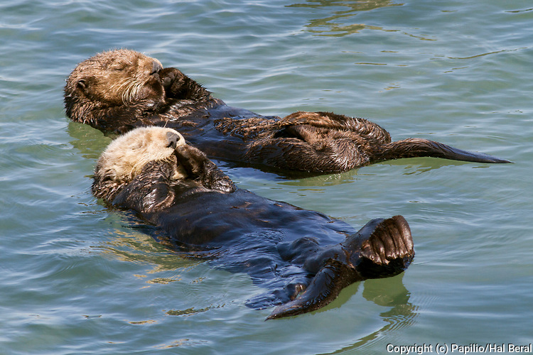 Pair of Southern Sea Otters also called California Sea Otters float on their backs to rest with their paws out of the water to conserve heat.(Enydra lutris).Elkhorn Slough near Monterey, California