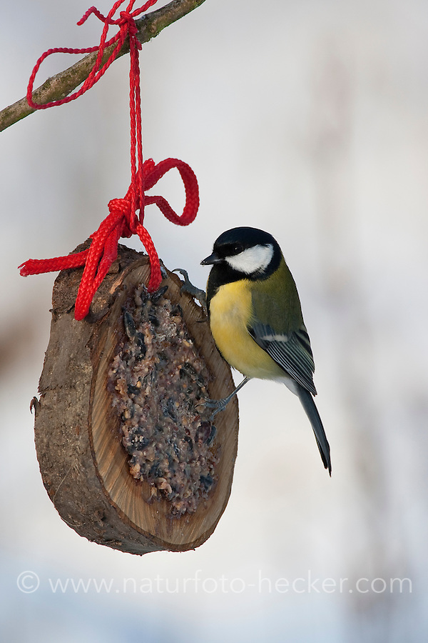 Kohlmeise an der Vogelfütterung, Fütterung im Winter bei Schnee, an Fettfutter in aufgehängtem Holzring, selbstgemachtes Vogelfutter, Winterfütterung, Kohl-Meise, Meise, Parus major, great tit