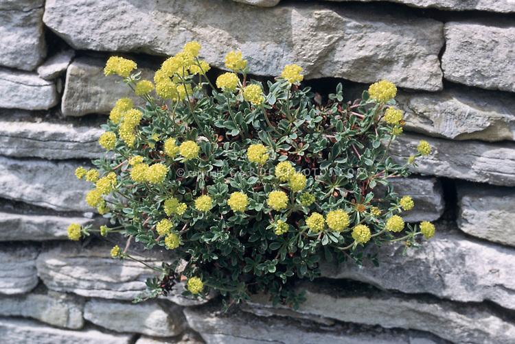 Eriogonum umbellatum 'Majus' growing from crevice vertical garden in stone wall, alpine plant in bloom yellow flowers. Subalpine sulphur flower aka wild buckweet in bloom