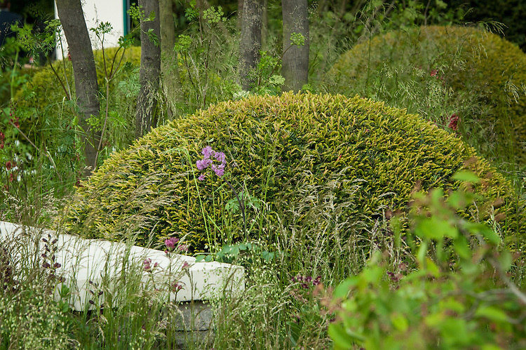 Clipped topiary domes of English yew (Taxus baccata). The Cloudy Bay Garden designed by Harry and David Rich, RHS Chelsea Flower Show 2015.