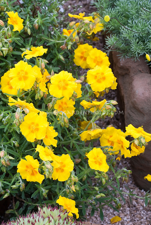 Helianthemum 'Ben Fhada' (yellow)