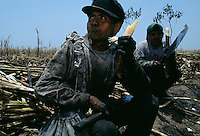 Workers in Peru take a break from cutting sugar and chew some of the sweet raw cane.  Faces are blackened as they cut charred sugar cane with a machete after the fields are burned.  The sharp leaves destroy workers and tools, so they are burned before the raw sugar is harvested. The stalks are then loaded on a truck, taken to a mill to be processed into white and brown sugar.