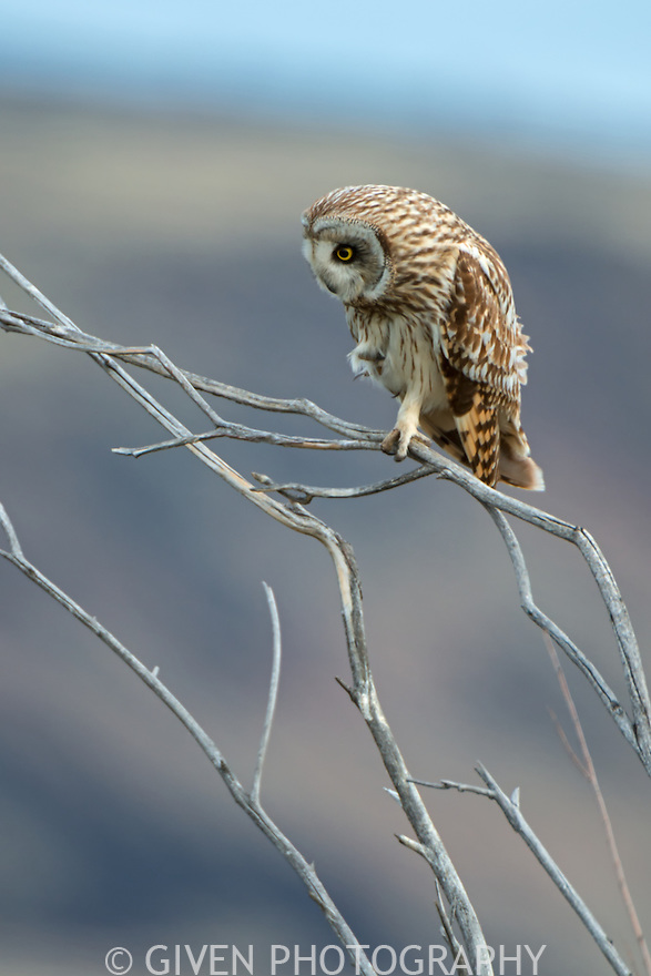 Short-eared Owl watching prey, Oregon