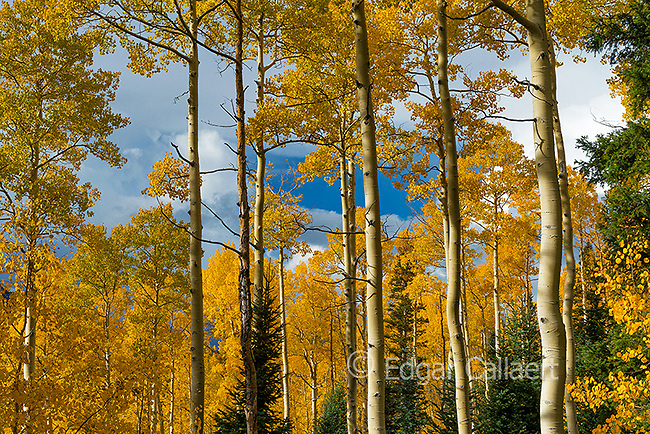 Aspens, Populus Tremula, Cimarron Valley, Uncompahgre National Forest, Colorado