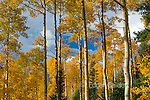 Aspens, Populus Tremula, Cimarron Valley, Uncompahgre National Forest, Colorado