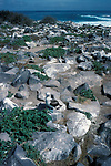 Blue Footed Booby, Sula nebouxii, on rock, Espanola Hood Island, Galapagos Islands