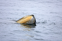 Fin whale Balaenoptera physalus spyhopping showing throat pleats and lighter colured chevron on right Jaw Spitsbergen Arctic Norway North Atlantic