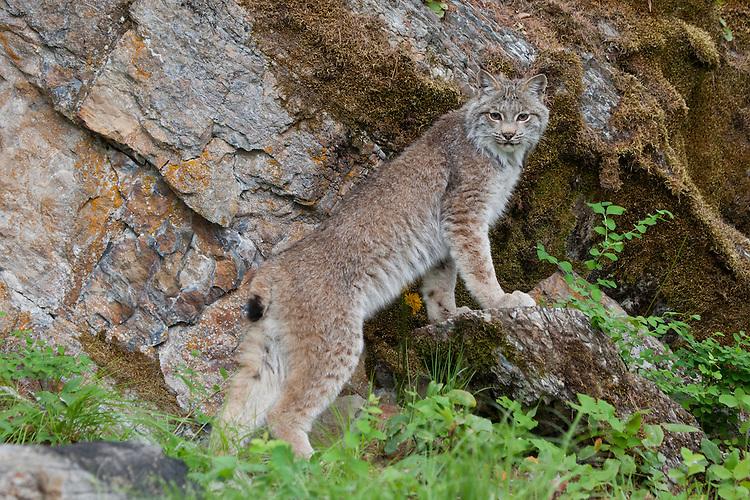 Canada Lynx leaning on a rock - CA