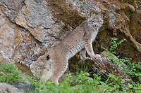 Canada Lynx leaning on a rock - CA