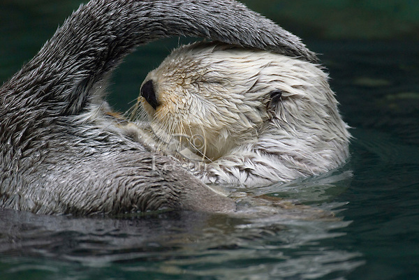 Sea Otter (Enhydra lutris) accessing oil gland at base of tail--used for cleaning fur.