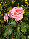 Bewitched Rose, Rosa hybrid tea