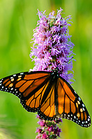 A Monarch Butterfly sits on a Blazing Star flower spike, Nachusa Grasslands Nature Conservancy, Ogle & Lee Counties, Illinois
