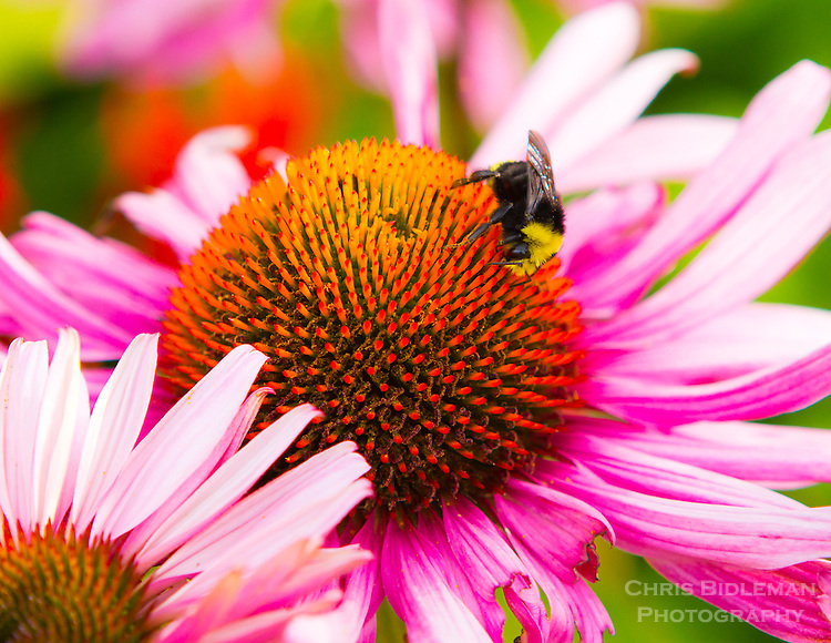 A bumble bee is collecting pollen from a purple coneflower (Echinacea purpurea) in a macro photo in late summer with a bokeh background.