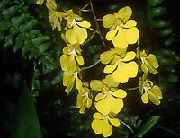 Oncidium onustum 'Everglades,' AM/AOS awarded orchid species, aka Zelenkoa onustum 'Everglades'. native to Panama, Columbia, Ecuador, Peru = Zelenkoa onusta