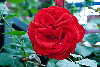 Rosa Dublin Bay red roses, excellent modern red climber, climbing rose