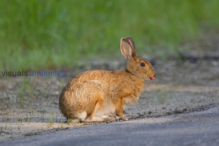 Snowshoe Hare (Lepus americanus), New Hampshire, USA