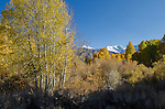 Autumn quaking aspen (Populus tremuloides) and snow-capped mountains, fall, Inyo National Forest, California