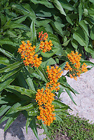 Butterfly Weed Asclepias tuberosa in flower with orange blooms