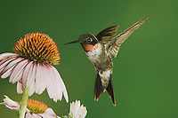 Ruby-throated Hummingbird, Archilochus colubris, male in flight feeding on Purple Coneflower, New Braunfels, Texas, USA