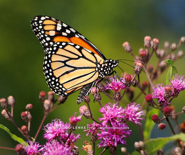 Monarch Butterfly Nectaring On Small Pink Flowers, Danaus plexippus