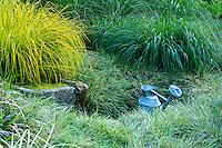 Jardins du pays d'Auge (mention obligatoire dans la légende ou le crédit photo):.Massif de graminées autour d'une auge et d'un arrosoir.