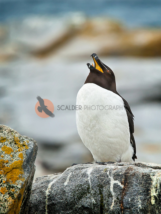 Razorbill perched on rock with beak open and bright yellow inside beak visible