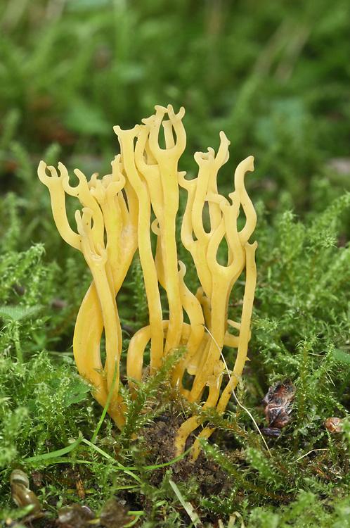Meadow Coral - Clavulinopsis corniculata