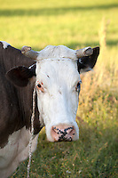 Portrait of a cow out in the pasture. Zawady Central Poland