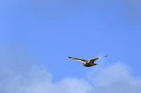 Sumpfohreule, Sumpf-Ohreule, im Flug, Flugbild, fliegend, Asio flammeus, short-eared owl, Short Eared Owl, Le Hibou des marais, Hibou brachyote