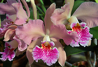 Fragrant Orchid: Cattleya Irene Holguin, orchid hybrid of Astral Beauty x J.A.Carbone, 1969, classic pink corsage prom orchid with frilly lip